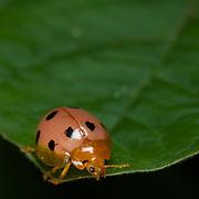 Henosepilachna sp. ladybird