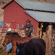 COWBOYS TAKE VISITORS UP TO THE GRAND CANYON RANCH IN THE BACK OF A HORSE DRAWN WAGON BEFORE SHOWING OFF THERE SKILLS OF HERDING CATTLE.