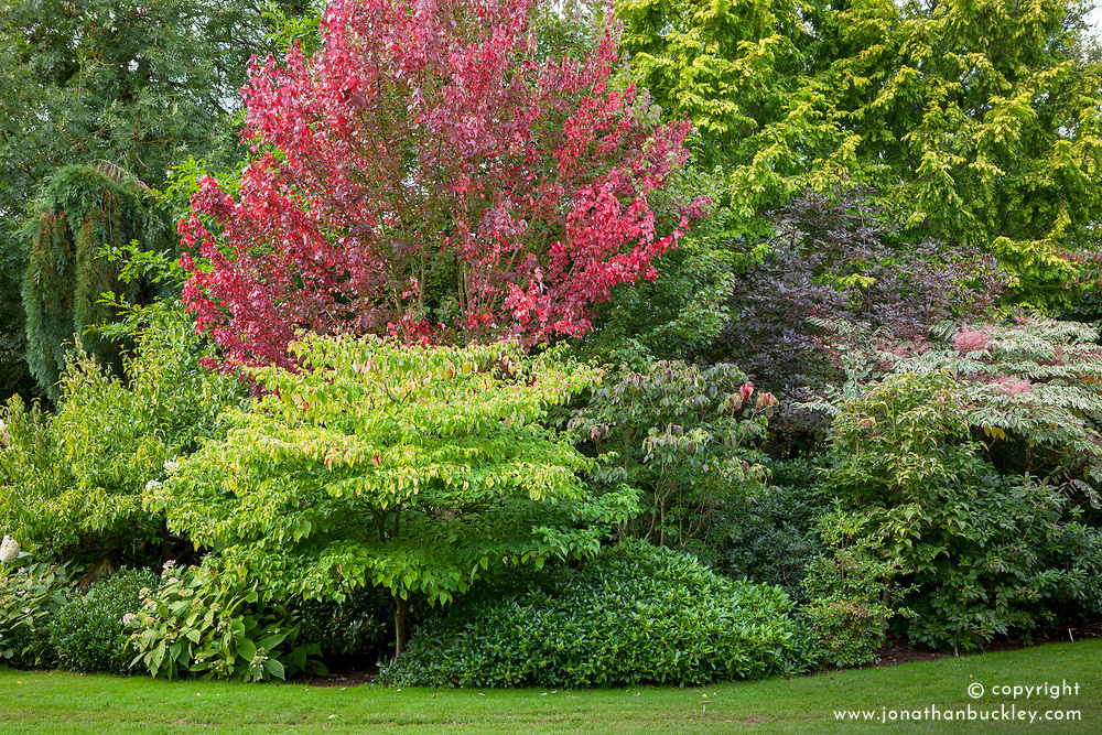 Autumn tree and shrub border at John Massey's garden. Acer rubrum 'Brandywine', Skimmia, Cornus kousa 'Nicole', Sambucus nigra f. porphyrophylla 'Thundercloud' and Aralia elata 'Variegata'