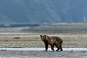 A grizzly bear sub-adult hunts for chum salmon in the lower lagoon at the McNeil River State Game Sanctuary on the Kenai Peninsula, Alaska. The remote site is accessed only with a special permit and is the world's largest seasonal population of brown bears.