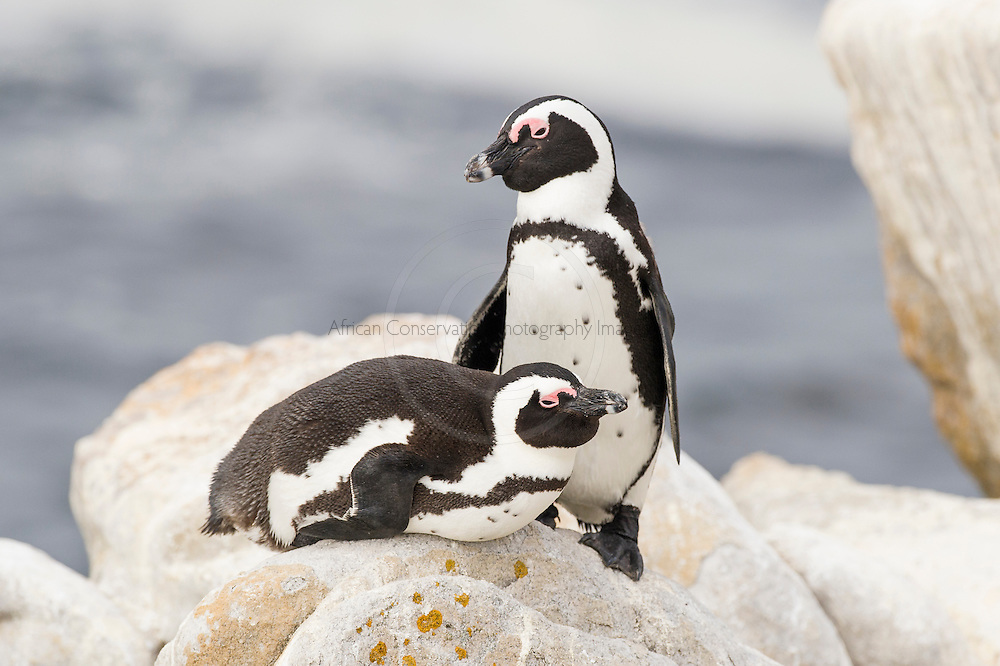 African Penguin pair resting on a pile of boulders during the late afternoon, Bettys Bay Marine Protected Area, Western Cape, South Africa