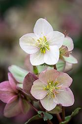 Helleborus × ericsmithii Hgc Shooting Star syn.<br /> 'Coseh 790'