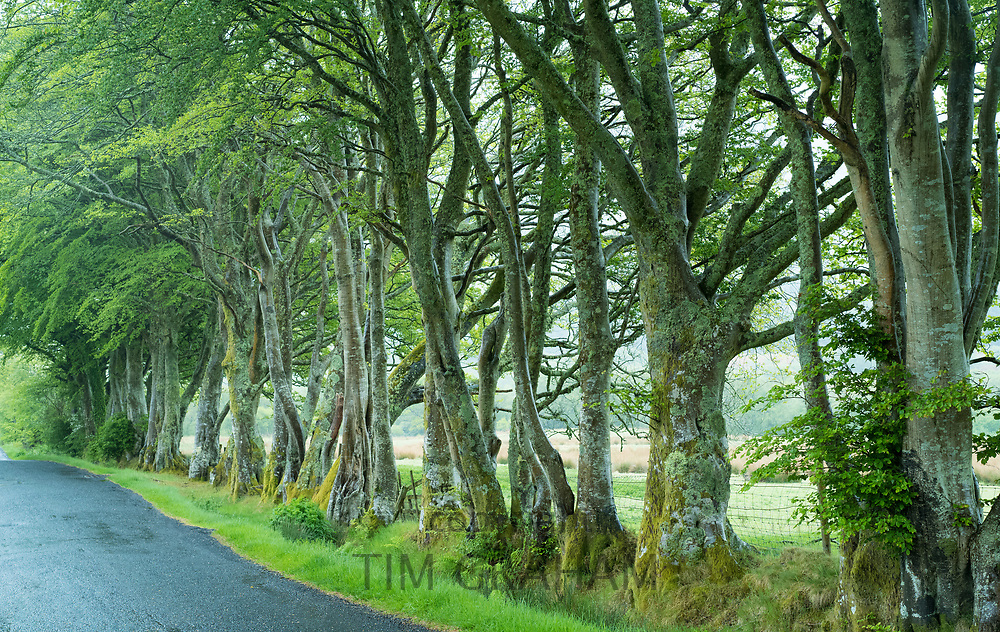 Roadside row of deciduous beech trees, Fagus, lining an empty tarmac road in Scotland