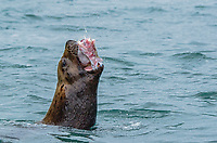 Steller sea lion eating a skate at the Inian Islands in Cross Sound in Southeast Alaska.