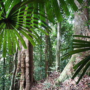 Palms in the hill forest of Borneo during the day