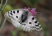 Apollo or Mountain Apollo (Parnassius apollo), is a butterfly of the Papilionidae family.