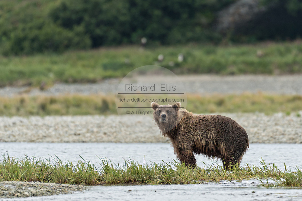 A Brown bear looks for salmon in the lower lagoon at the McNeil River State Game Sanctuary on the Kenai Peninsula, Alaska. The remote site is accessed only with a special permit and is the world's largest seasonal population of brown bears in their natural environment.