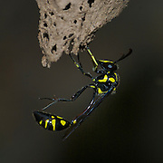 A solitary Eumenes sp. potter wasp on the entrance of its nest. Pang Sida National Park Thailand.