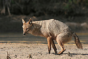 Golden Jackal (Canis aureus), also called the Asiatic, Oriental or Common Jackal, Israel
