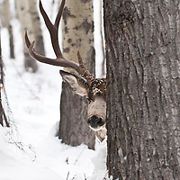 mature muledeer trophy buck peaking, peaks out behind tree deep snow