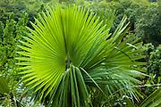 Circular Palm leaf