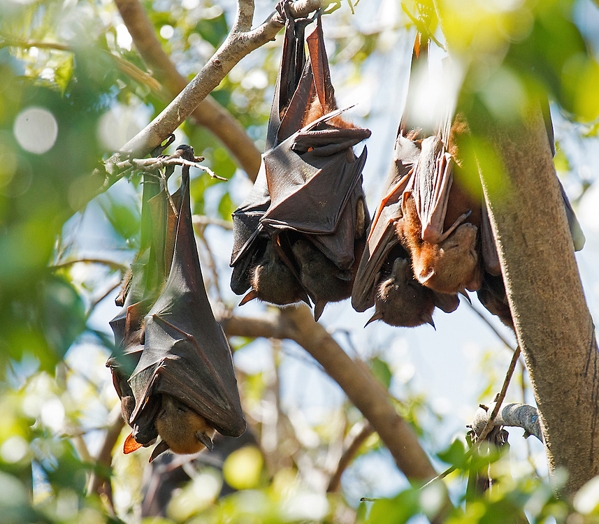 Flying foxes sleep in their daytime roost, Kakadu National Park, Northern Territory, Australia.