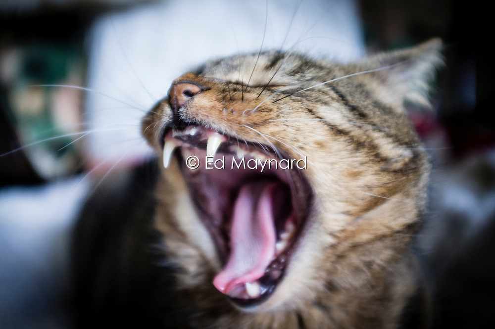 Domestic pet tabby cat with his mouth wide open yawning and showing his teeth, England, UK.