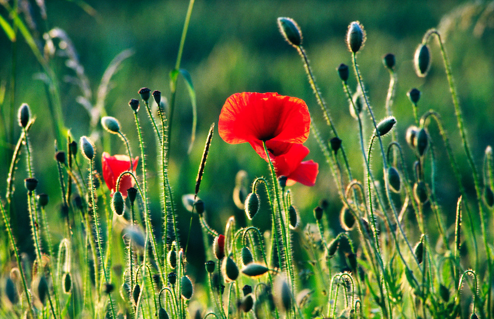 Red poppy poppies flowers wildflowers and buds growing in grass meadow field. Papaver rhoeas