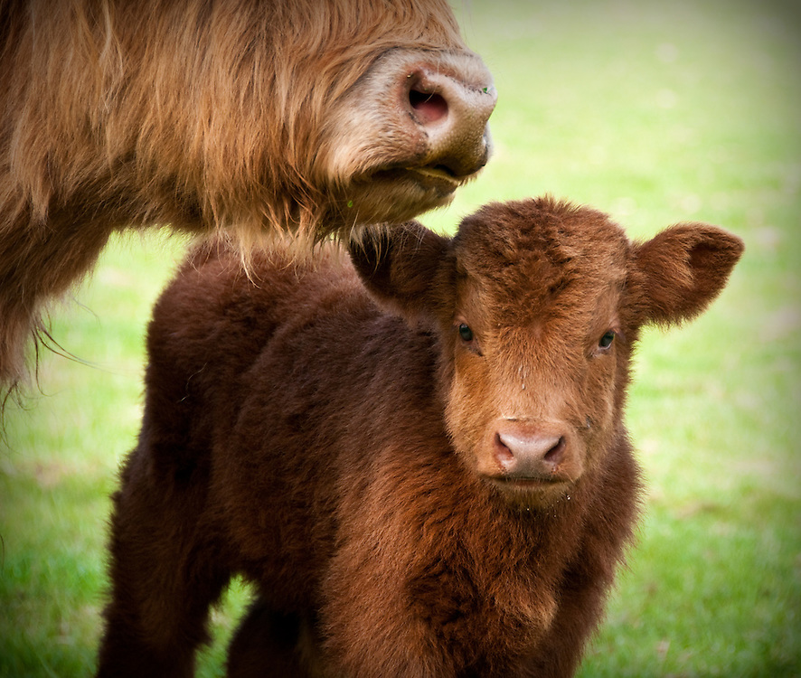 Mother and Baby Highland Cows in Cardross, Scotland