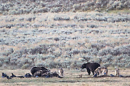 Grizzly bear and wolves dine together in Yellowstone's Lamar Valley. A grizzly boar, a sow, her three cubs and a pack of wolves share a bison diner. This doesn't happen, but here it is.  Grizzly bear males kill cubs, wolves kill cubs but here they all are like an awkward thanksgiving dinner.<br />