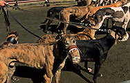 Training of greyhounds at the canidrome (dog race field). Macau  /// courses de levriers au canidrome de Macao, entraînement  pour la course /// R229/    L3100  /  P0006200