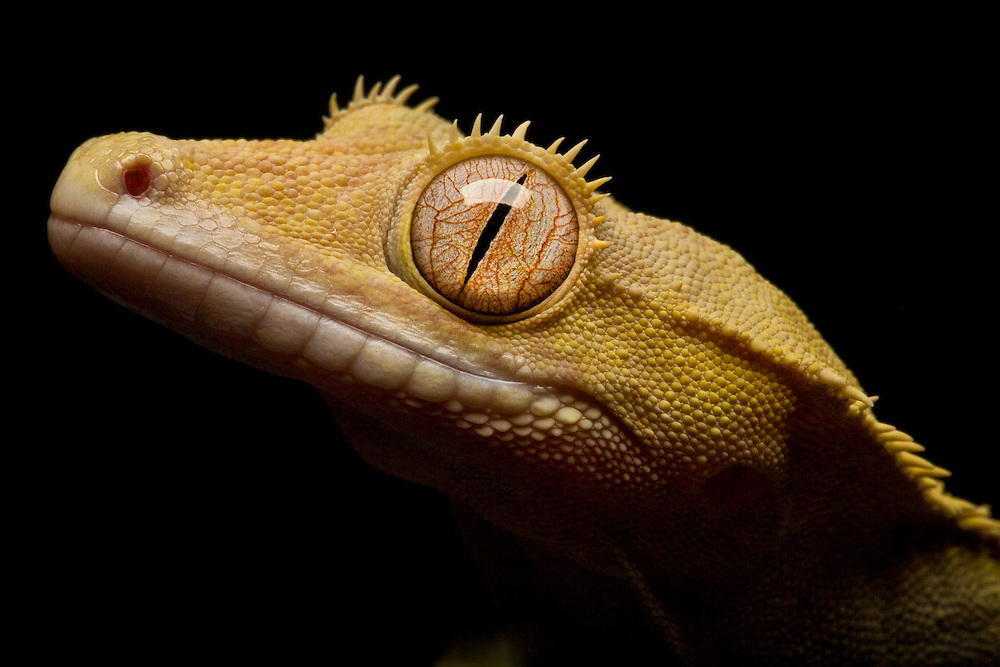 Studio portrait of a Crested Gecko.