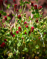 Crimson Clover. Image taken with a Nikon D850 camera and 105 mm f/1.4 lens (ISO 64, 105 mm, f/1.4, 1/3200 sec).