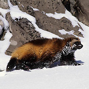 Wolverine, (Gulo gulo) In Snowy foothills of the Rocky mountains. Montana. Winter.  Captive Animal.