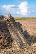 Stooks - stacks of cut reeds drying in the sun to be used for thatching of traditional thatched cottages in Norfolk, UK