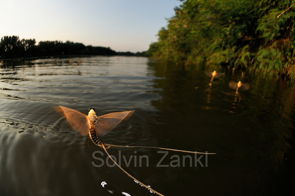 The first mature male long-tailed mayflies (Palingenia longicauda) are flying over the Tisza River searching for the females that are about to hatch half an hour later than the males. Tisza blooming (Tiszavirágzás). It is when millions of long-tailed mayflies (Palingenia longicauda) are rising in huge clouds, reproduce, and perish, all in just a few hours.