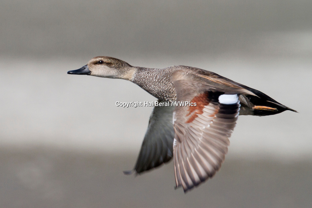 Gadwall Duck male in flight<br /> (Anas strepera)<br /> San Joaquin Reserve,California