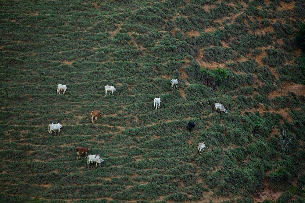 Domingos Martins_ES, Brasil...Gado pastando em Domingos Martins...Cattle grazing in Domingos Martins...Foto: LEO DRUMOND / NITRO