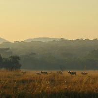 Early morning eland in Zimbabwe.