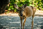 A Key Deer on Big Pine Key in Monroe County, Florida.