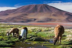 Llamas (Lama glama) grazing along the shore of Laguna Colorada, Bolivia,South America
