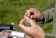 Female Blackcap being ringed - Sylvia atricapilla