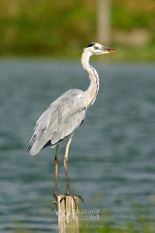 Grey Heron, Ardea cinerea, sitting on a post