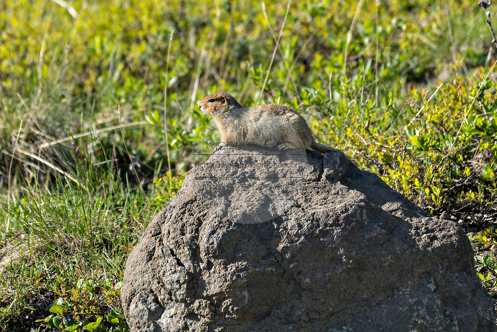 An arctic ground squirrel suns on a rock at Eielson Visitor Center in Denali National Park Alaska. Denali National Park and Preserve encompasses 6 million acres of Alaska's interior wilderness.
