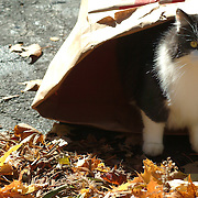 October 28, 2007 -- BATH, Maine.  Karen's cat got in the act -  going in and then coming out of the bag.  Photo by Roger S. Duncan.