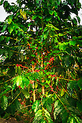 Red Kona coffee cherries on the vine, Captain Cook, The Big Island, Hawaii