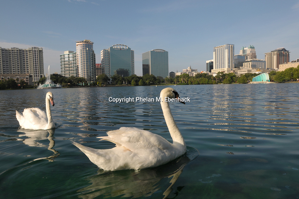 Two swans swim on the waters of Lake Eola, with the downtown skyline in the background, in Orlando, Florida.
