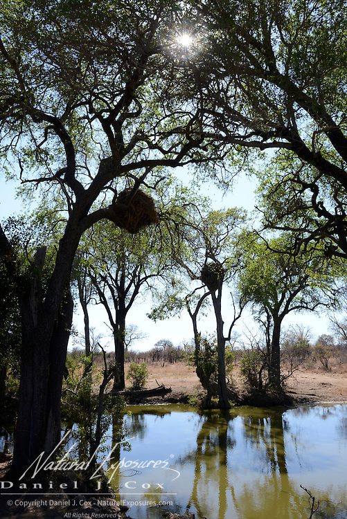 Hamerkop nests above a small waterhole in Timbavati Game Reserve, South Africa.