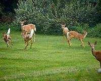 Herd of Deer. Image taken with a Nikon N1V3 camera and 70-300 mm VR lens
