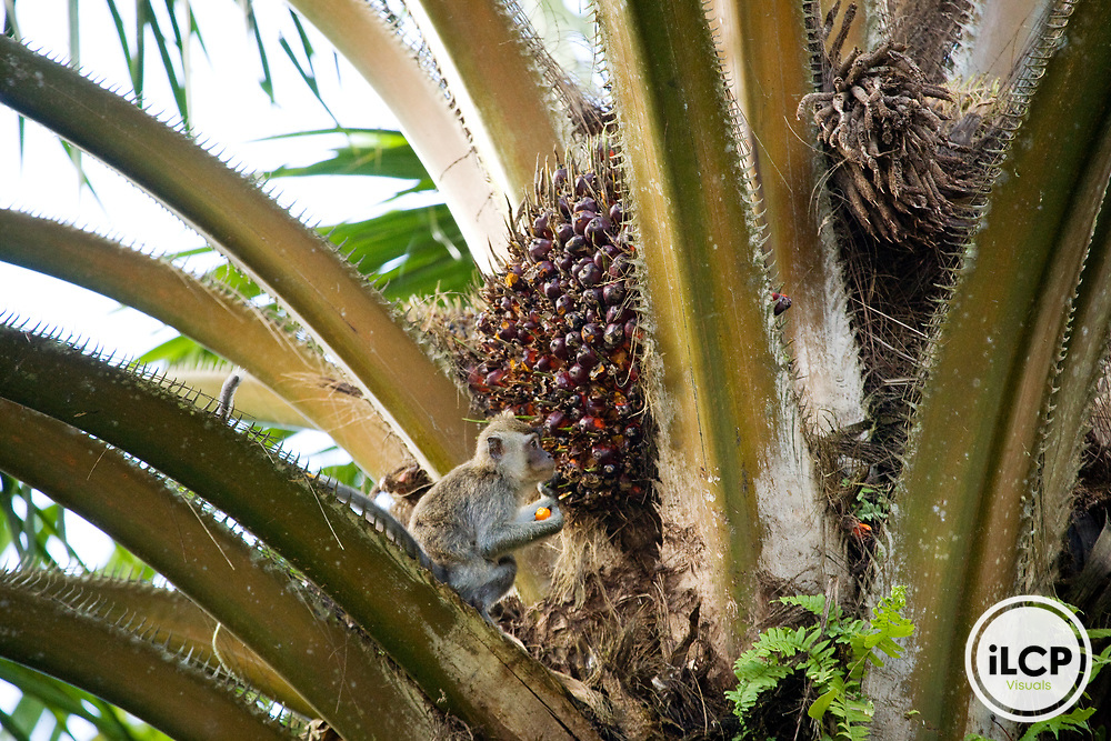 Long-tailed Macaque (Macaca fascicularis) juvenile feeding on African Oil Palm (Elaeis guineensis) fruit, Tawau Hills Park, Sabah, Borneo, Malaysia