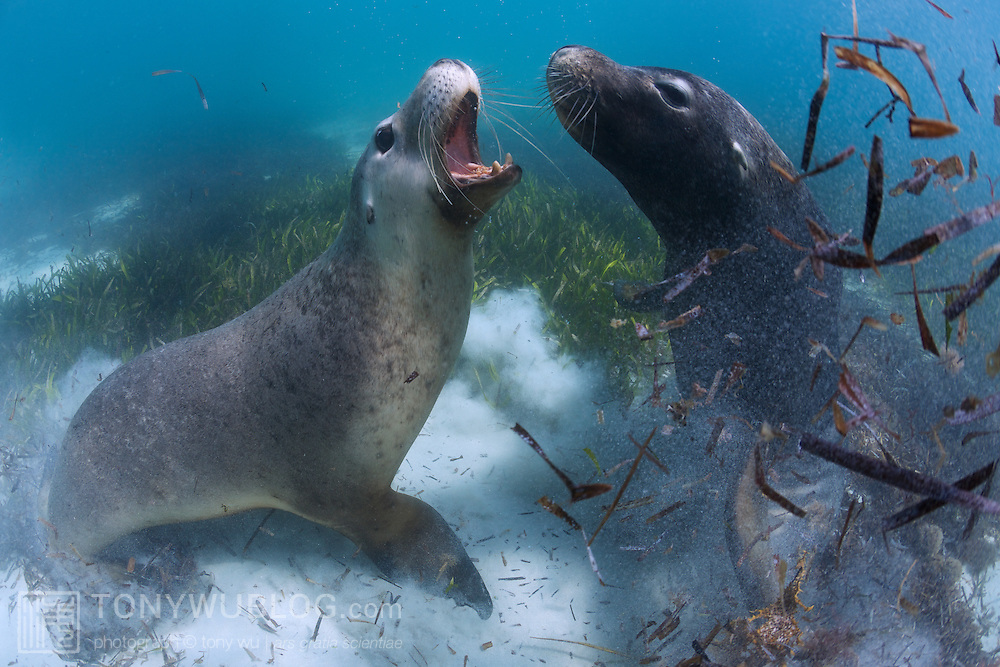 Two male sea lions, a juvenile and mature individual, tussling in shallow water. These animals mock fight on a regular basis, perhaps to establish relative social rank. They bite, nip and tug, but don't appear to inflict actual injury.