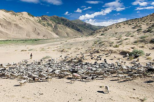Local Tibetan farmer herding yak. Tibet. Tibet Plateau.