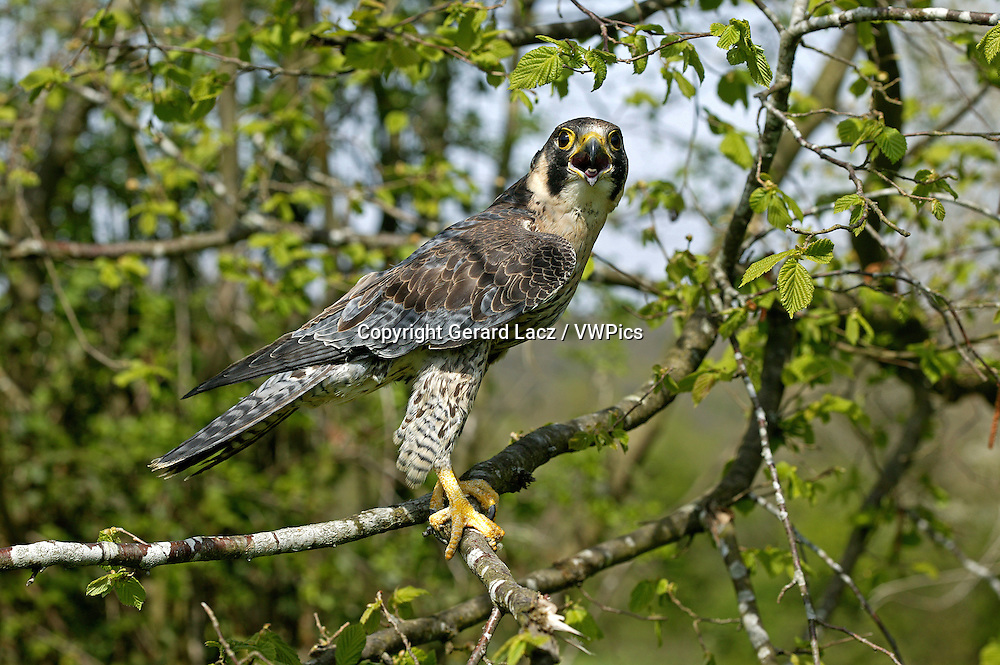 Peregrine Falcon, falco peregrinus, Adult standing on Branch, Calling