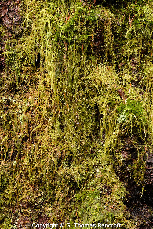 Cat-tail Moss