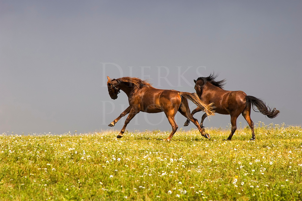 Sweating horses on a hot July afternoon, bucking at the sound of thunder before an approaching storm, Pennsylvania, PA, USA.