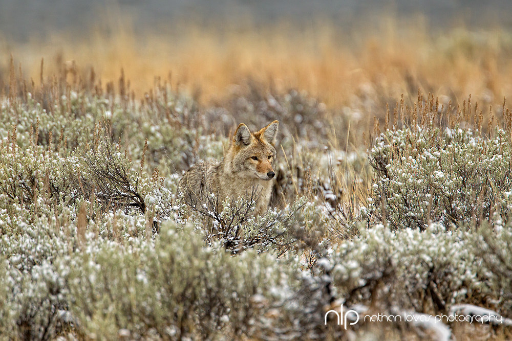 Coyote in sage brush; Yellowstone NP in wild.