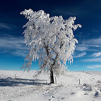 Hoar frost covers a tree in the hills outside of Sisseton, S.D.