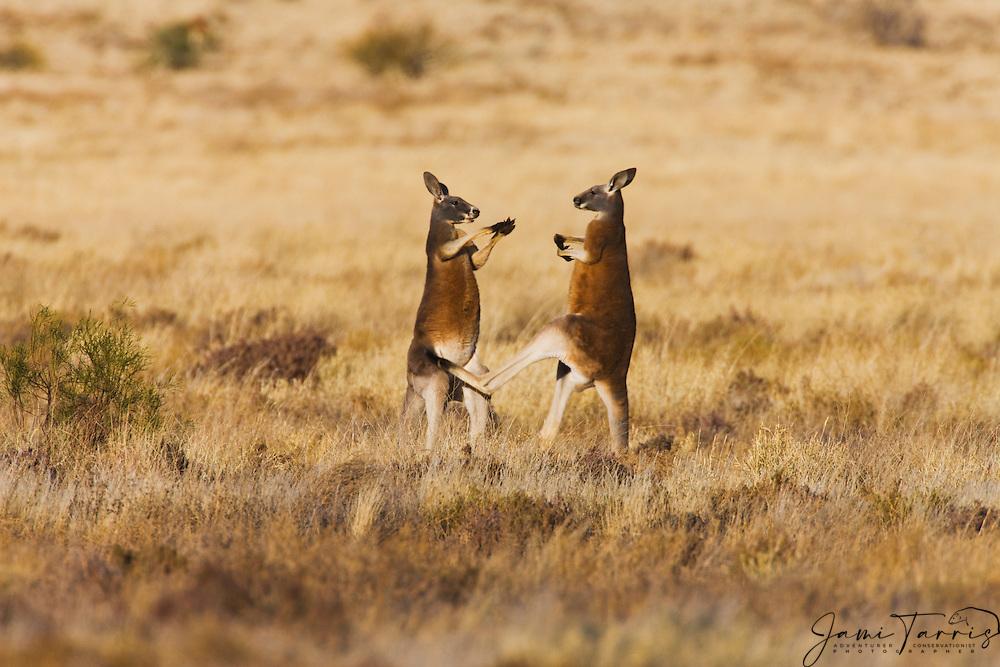 Two male red kangaroos  (Macropus rufus)  play fighting in the morning light,  Sturt Stony Desert,  Australia
