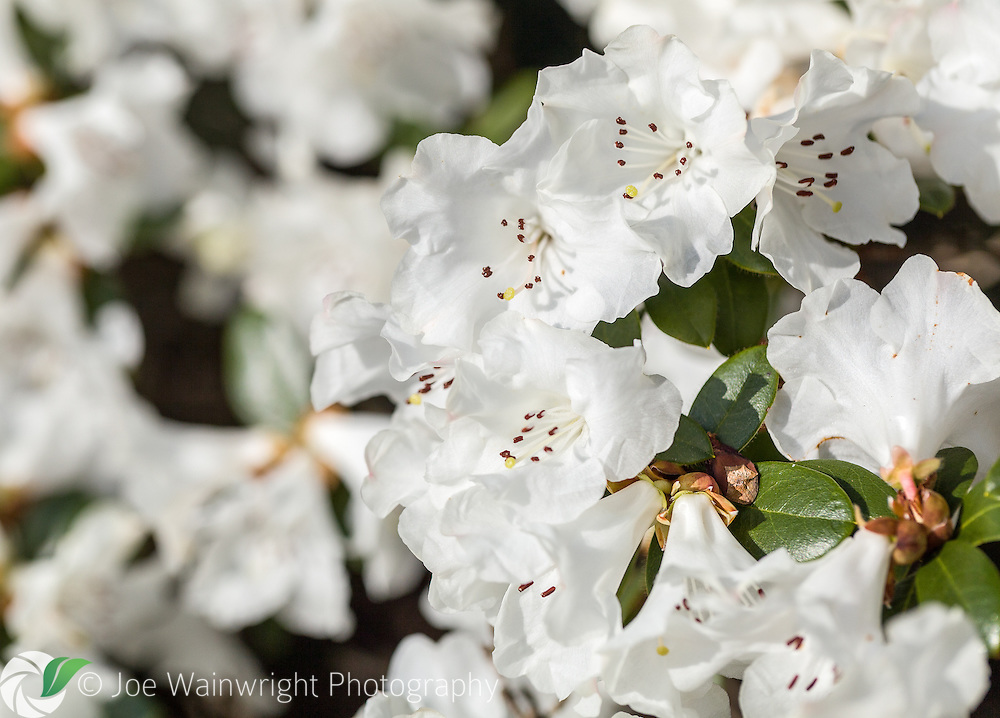 This beautiful white rhododendron was photographed in clear March sunlight.