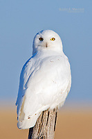 A snowy owl on the prairies.